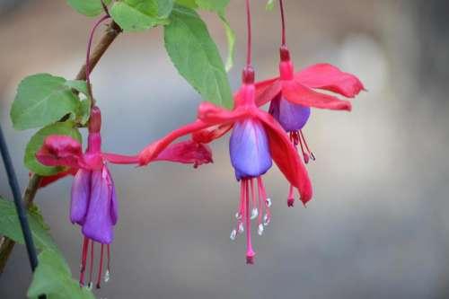 fuchsia flower plant