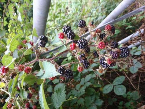 Blackberries food fruit nature