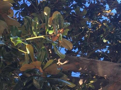 magnolia leaves tree trunk