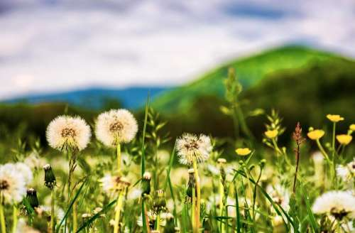 dandelion field flower spring background