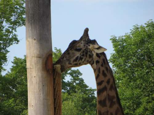 giraffe animals zoos
