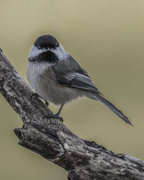 #littlebirdies songbird chickadee nature wildlife