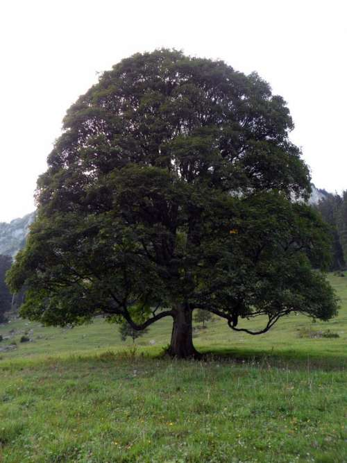 Switzerland tree