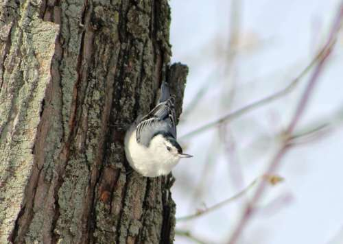 winter animal bird nuthatch beak
