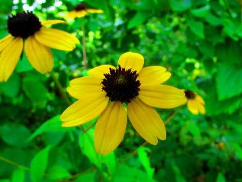 Black Eyed Susan yellow garden flowers