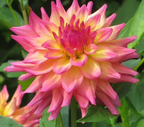 dahlia pink yellow flower plant