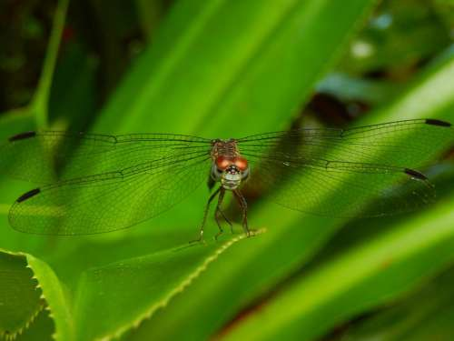 dragonfly dragonflies insect bug predator
