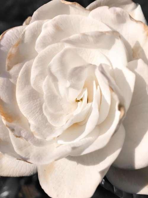 White rose rose Flower floral garden