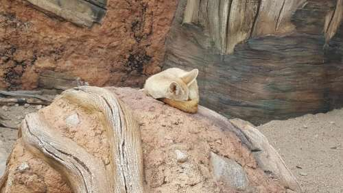 zoo animal fennec fennec fox fox