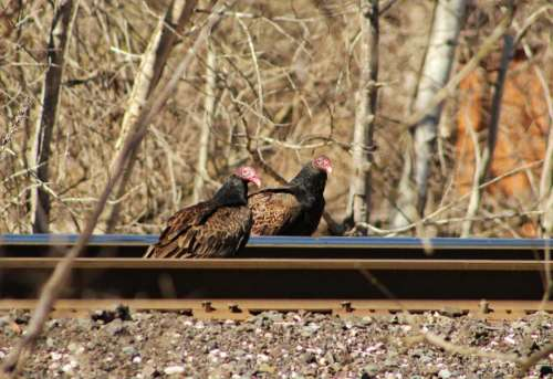 nature wildlife outdoors birds vulture