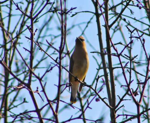 nature animal bird waxwing wax