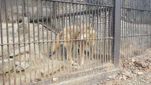 zoo animal wolf