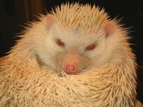 hedgehog white albino pet animal