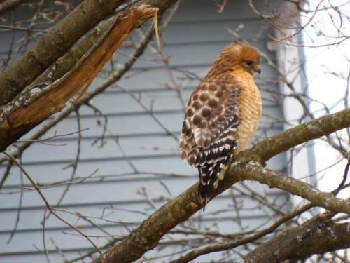red shouldered hawk bird of prey hawk bird