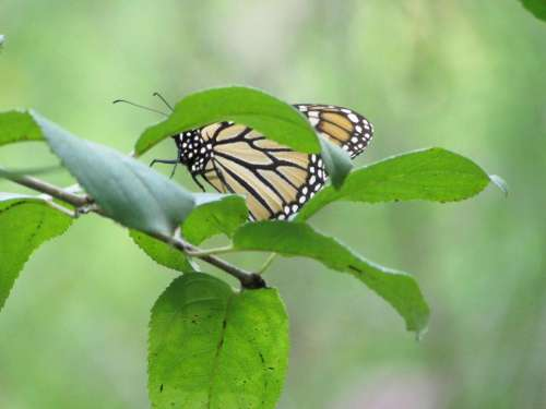 monarch butterfly insect nature butterfly #animals