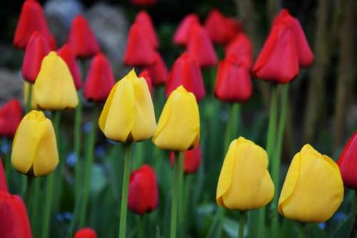 tulips spring flowers petals yellow