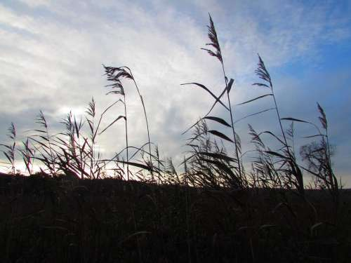 grass weeds silhouette