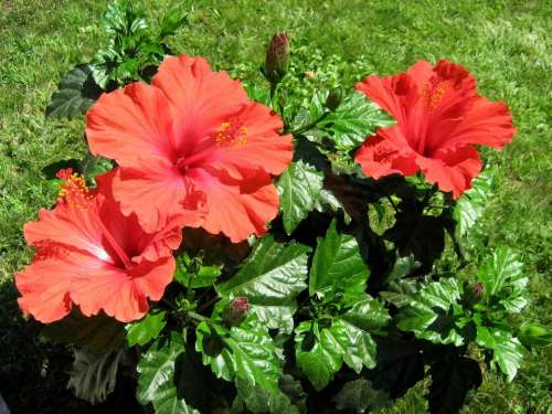 hibiscus flower flowers red plant