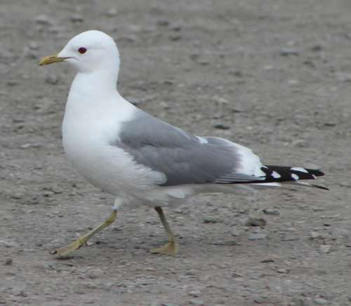 Wandering Bird seagull gull oceanic bird