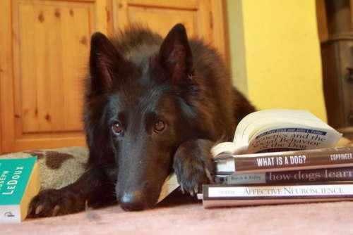 black dog groenendael canine Belgian Shepherd study partner