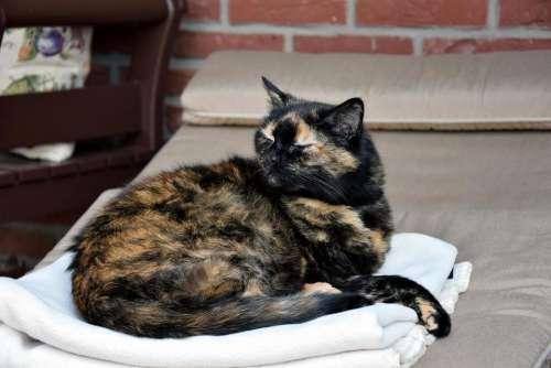 cat animal pet mammal Tri-color