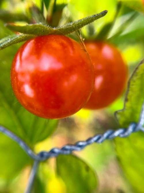 Tomato garden #communitygarden
