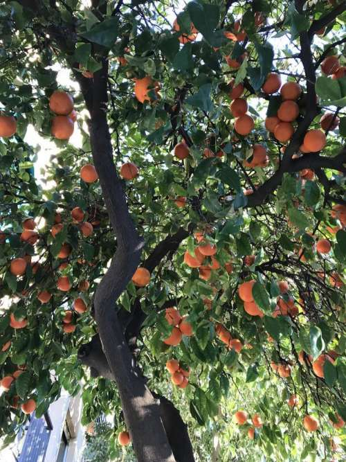 tree oranges citrus fruit produce