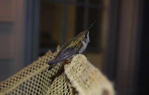 hummingbird bird small tiny nectar eater