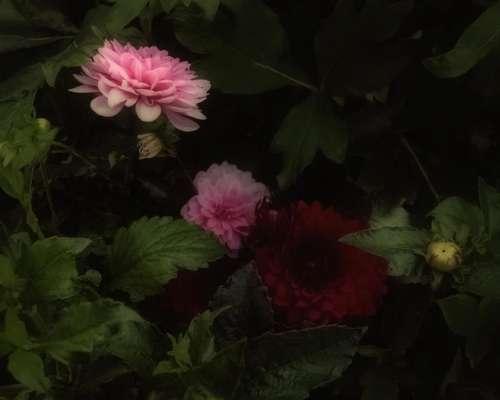 dahlia flowers floral garden flower
