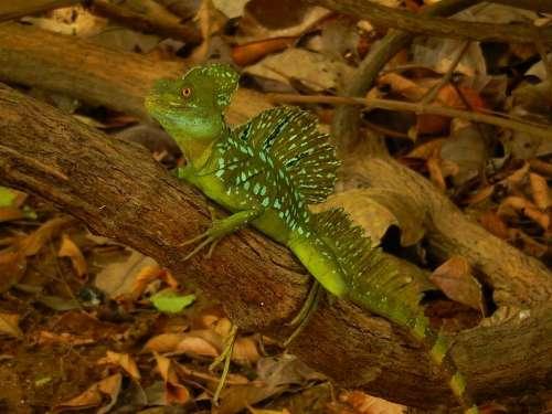 iguana reptile lizard animal wildlife