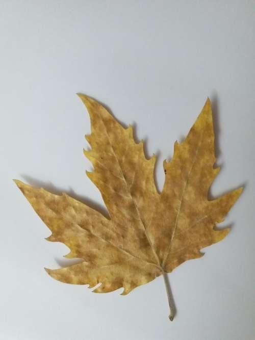 maple maple leaf autumn dried leaf
