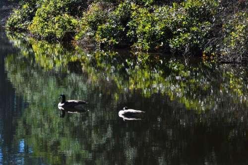 Canadian Geese lake wildlife nature
