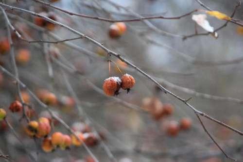 plants trees berries fruit crabapple