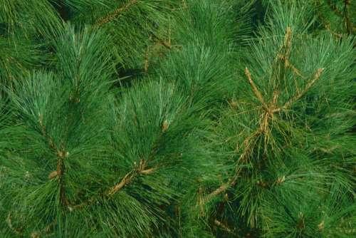 Pine Needles Tree Background Fragrance