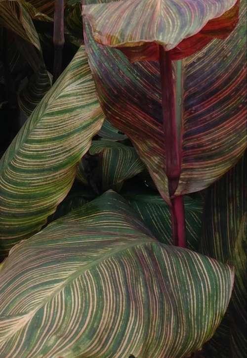 Variegated leaf leaves plants plant