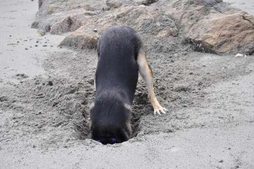 Dog digging beach