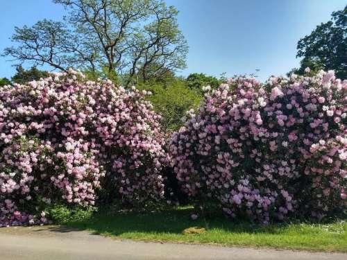 garden english garden Rhododendron spring pink
