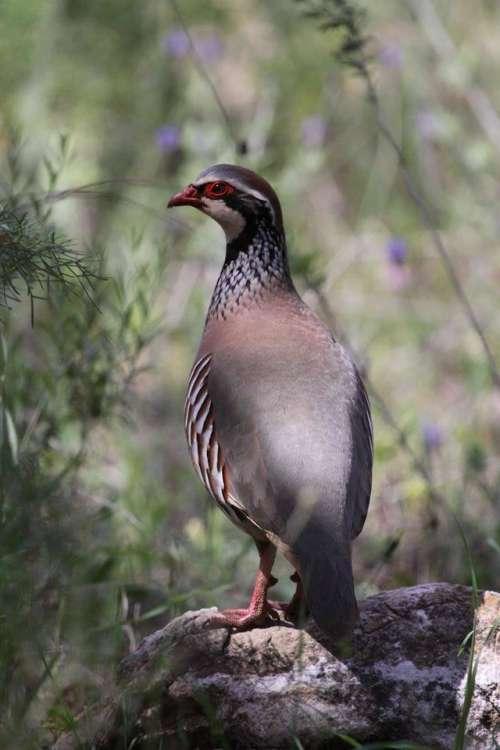Red legged partridge bird colorful wild Spain