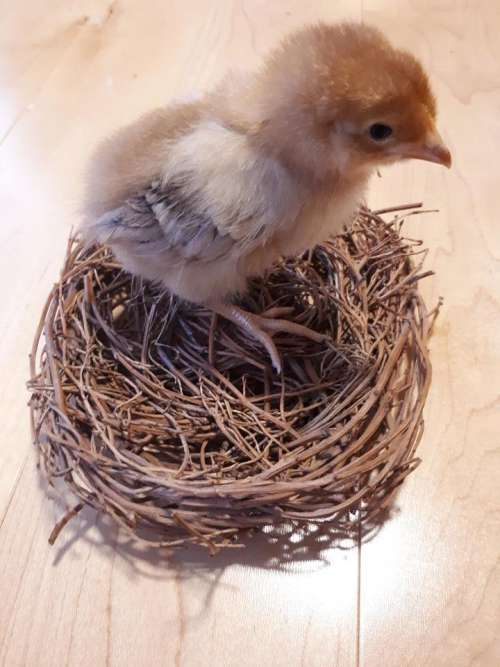 baby chick Easter cute adorable