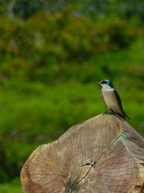 tree trunk bird coloured blue swallow