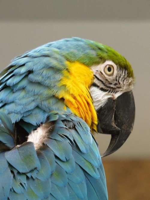 blue&gold macaw tropical bird parrot
