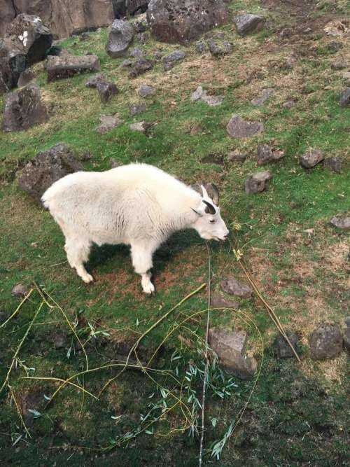 rocky mountain goat hoof hooves