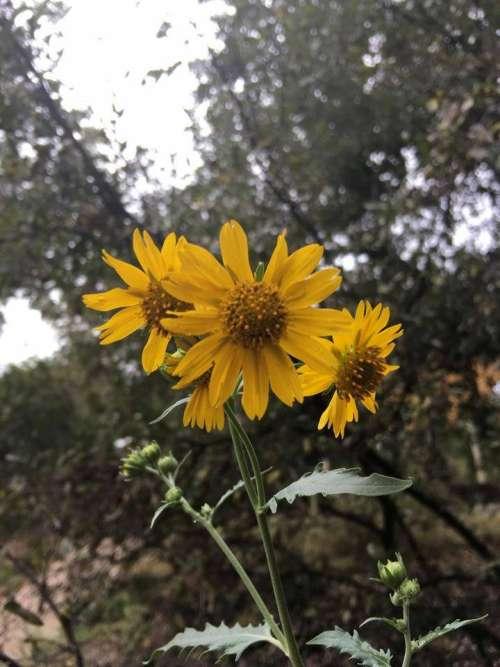 yellow flower weed ragwort senecio