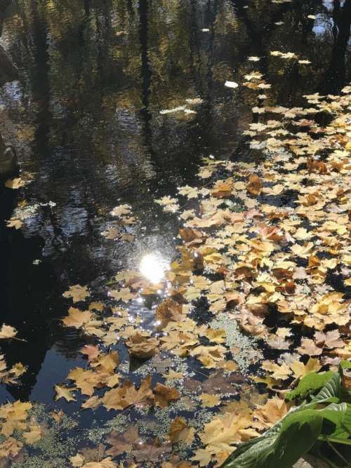 pond leaves sun reflection