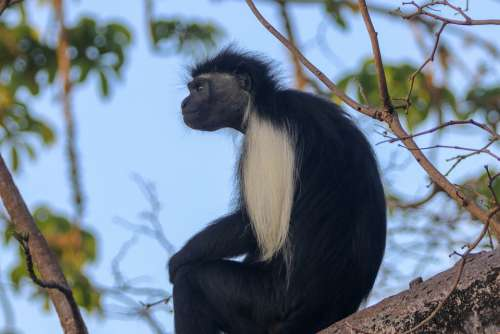 Africa Kenya Ape Kolobus Monkey Primates