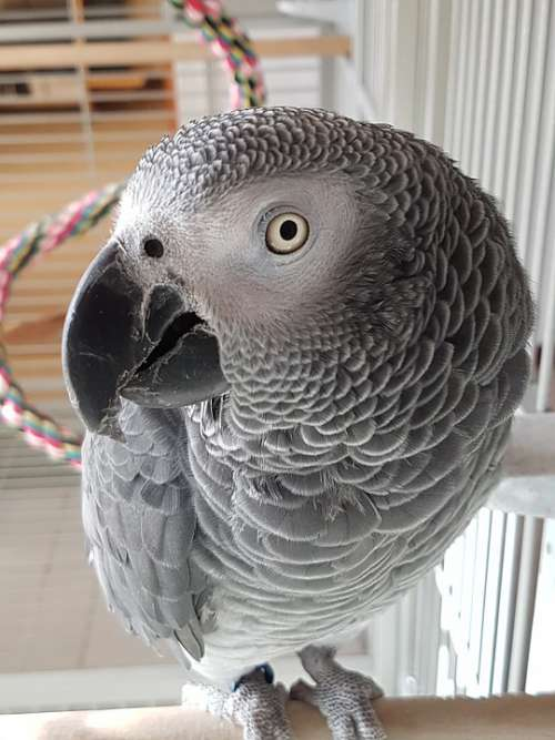 African Grey Parrot Of The Congo Animal Portrait