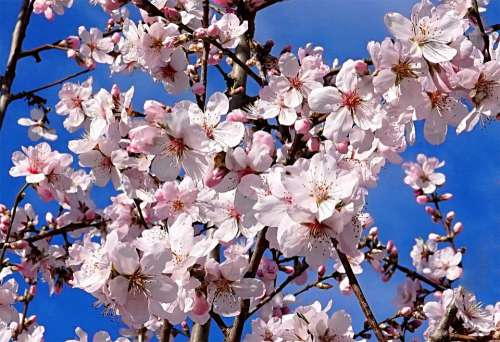 Almond Tree Blossom Bloom Spring Pink Nature
