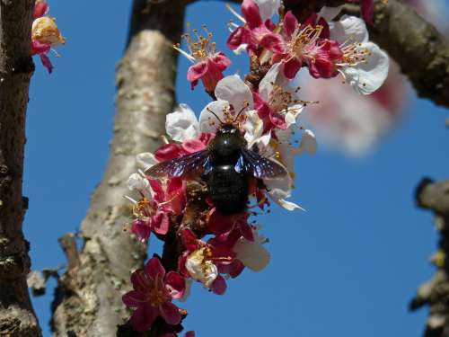 Almond Tree Flower Drone Drone Black Libar
