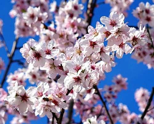 Almond Tree Blossom Bloom Spring Pink