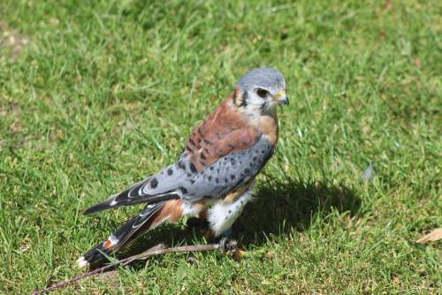 American Kestrel Nature Wildlife Raptor Falconry
